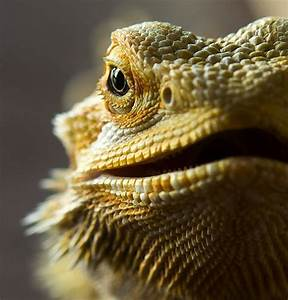 6 Reasons Bearded Dragons Make The Best Pets
