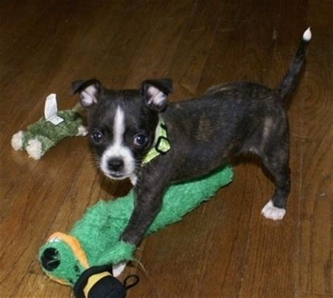 boston huahua dog breed information  pictures