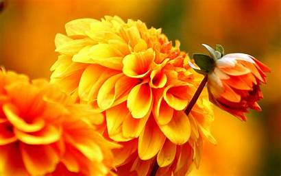 Dahlia Flowers Flower Autumn Orange Wallpapers Fall