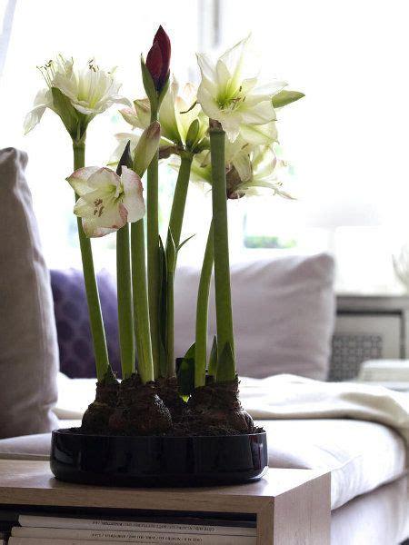 Amaryllis Im Glas Dekorieren by Hippeastrum Amaryllis Blooms For Window Ledge In Living