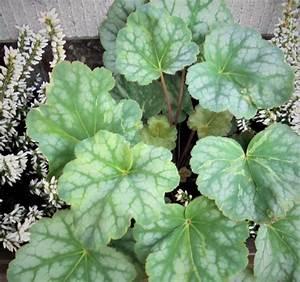 Acheter Des Plantes : heuchera acheter des plantes en ligne ~ Melissatoandfro.com Idées de Décoration