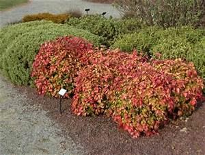 Petit Arbuste Fleuri : petit arbuste pour votre jardin p pini re en ligne ~ Premium-room.com Idées de Décoration