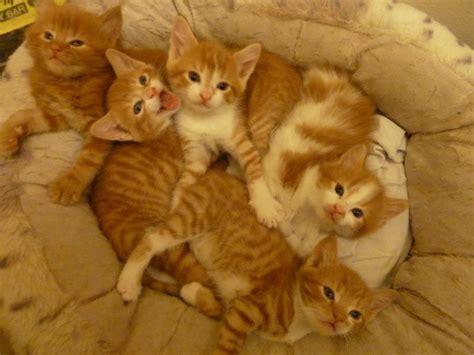 5 Adorable Ginger Kittens2 Left London South