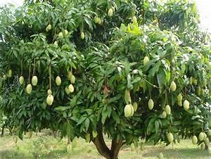 Mango Tree Dreaming About Mango Trees - Quality Dogs