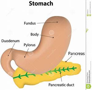 Stomach And Pancreas Labeled Diagram Stock Vector - Image ...