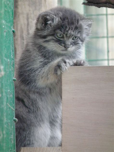 Pallas Cat Kittens