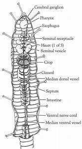 Printable Earthworm Diagrams