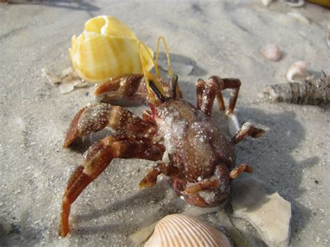 hermit crab without shell great florida beachwalk mile 267 fort desoto park blog the beach