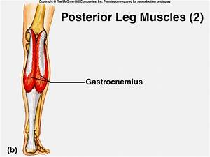Notez On Nursing      Muscular Anatomy  Pelvic And Leg