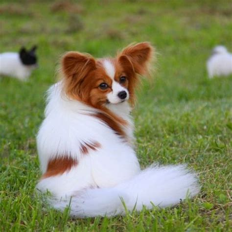 dogs that dont shed papillon 15 best small indoor dogs herinterest