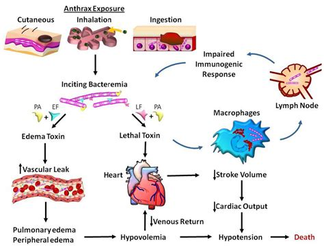 Anthrax Bacterium Diagram by Cardiovascular Effects Of Anthrax Toxin Bacteremia Is