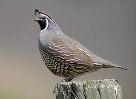 california quail identification all about birds
