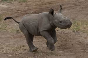 Our newest baby African black rhino born at the Park | Flickr