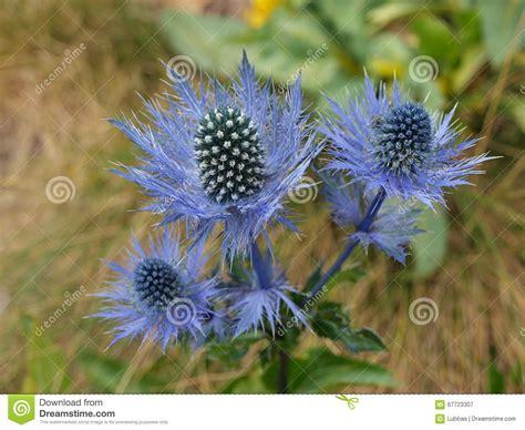 blaue distel der wilden blume stockbild bild von distel