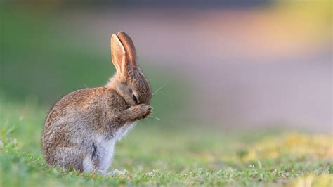cute bunny hd wallpaper background image