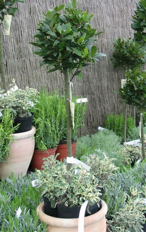 bay laurel sweet bay standard prune and use as herb