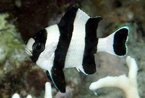 Marine Aquarium Damsels| Marine Aquarium Chromis