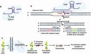 Application Of The Crispr  Cas9 Gene
