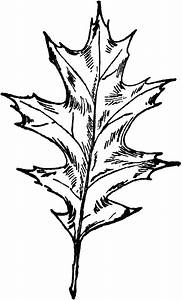 Oak Tree Leaf Drawing At Getdrawings