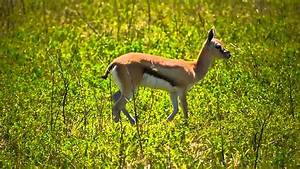 Baby Thomson's Gazelle - YouTube