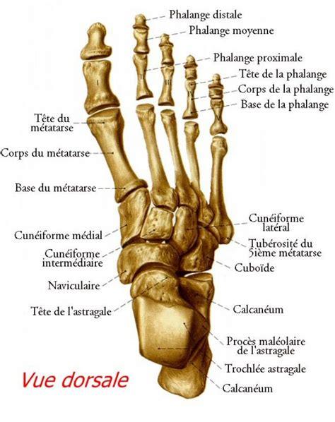 squelette du pied podologie le havre philippe boulier