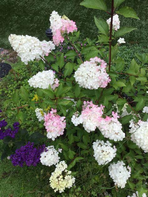 strawberry hydrangea quot vanilla strawberry quot hydrangea doing it s magic change to half pink so fun my garden my