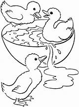 Coloring Swimming Pages Duck Duckling Adult Ducklings Bowl Swim Printable Drawing Colouring Ducks Cute Three Sheets Baby Para Colorir Ugly sketch template