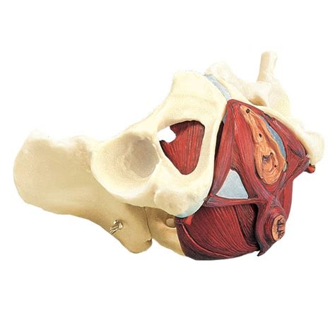 Want to learn more about it? Pin by Pelvic Floor Exercise on Pelvic Floor Anatomy ...