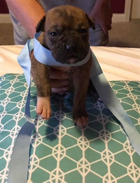 akc boxer puppies champion showlines kentucky home