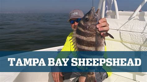florida fishing sport sheepshead bay tampa tv