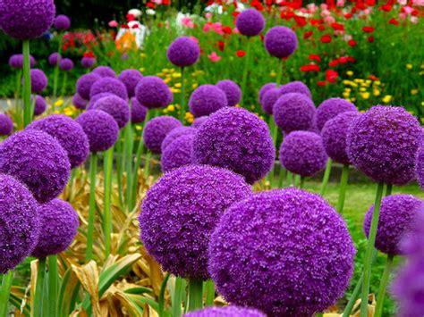 what to plant with allium how to grow allium giganteum from seed the garden of eaden