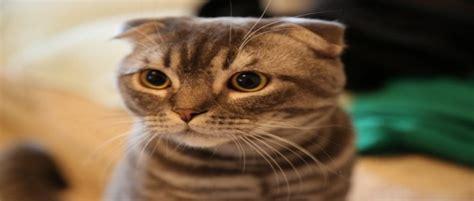 สายพันธุ์แมวสวยงาม ที่คนไทยนิยมเลี้ยง   รวมพันธ์แมวน่ารักๆ
