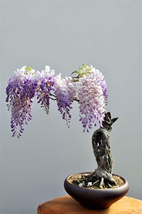 bonsai trees ever most hole wisteria hobbit