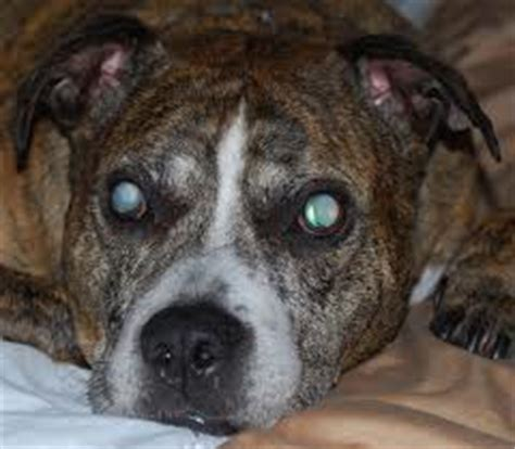blindness in dogs dogs and blindness