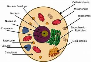 Pics For > Ribosomes In A Animal Cell Project