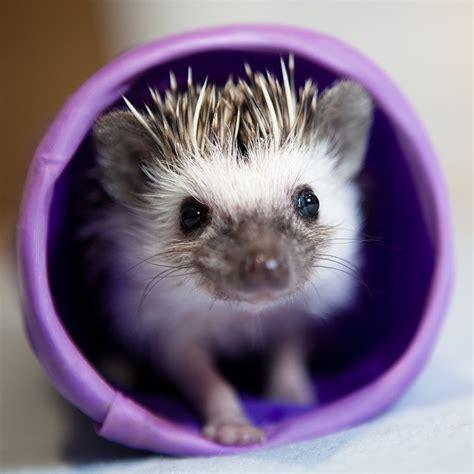 Heat L For Pygmy Hedgehog by Pygmy Hedgehog Adam Foster Photography