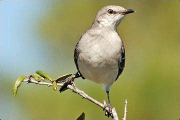 wildlife  las vegas northern mockingbird mimus