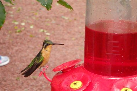 red nectar  making hummingbirds  sick  fly