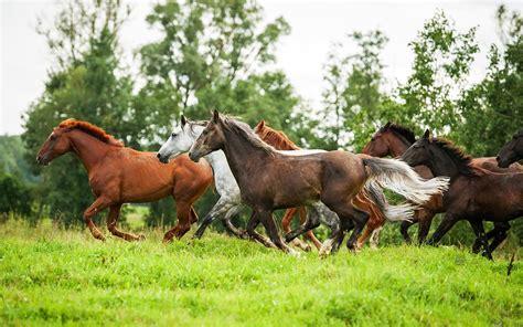 beautiful wild horses in running hd desktop wallpaper