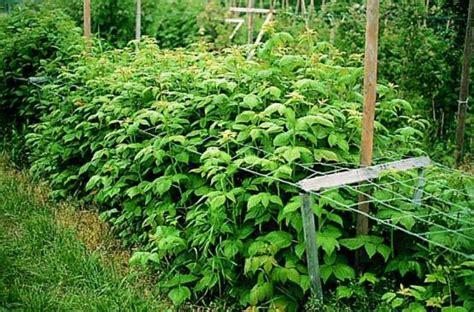 Garten Pflanzen Himbeeren by Wann Himbeeren Pflanzen Wann Himbeeren Pflanzen Tipps F R