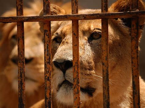 big cats  captivity national geographic society