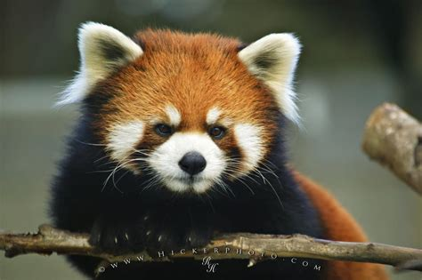 Endangered Animals Wallpapers - free wallpaper background endangered animal list