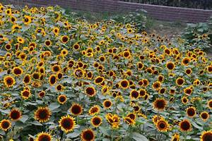 Helianthus Annuus  Ring Of Fire  Annual