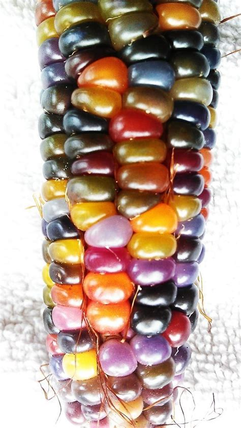 glass gem seeds 17 best images about glass gem corn on pinterest corn ear glasses and indian