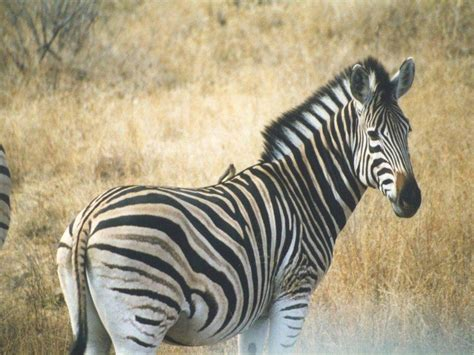Zebra Animal Wallpaper - zebra wallpapers images and animals zebra pictures 739
