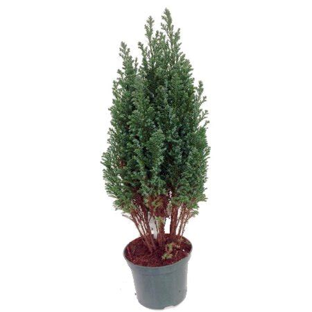 european cypress christmas tree blue european cypress tree chamaecyparis indoors out 4 quot pot walmart
