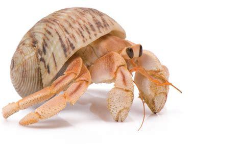 Hermit Crab Association Reshapes Baseball Team's Planned ...