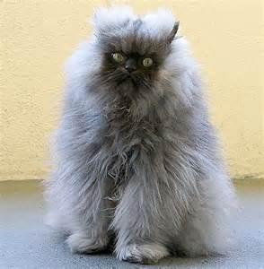 Bad Hair Day Cat