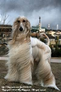 Afghan Hound Dog Puppies