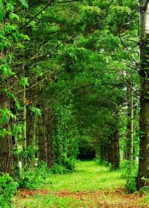 Row Of Trees Free Stock Photo - Public Domain Pictures